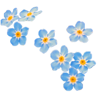 27851-5-forget-me-not-transparent-thumb